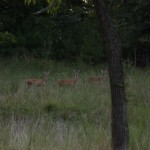 Saulsbury, TN Deer