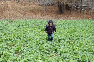 BBW Fisheries Apprentice Rosa playing in brassica plot